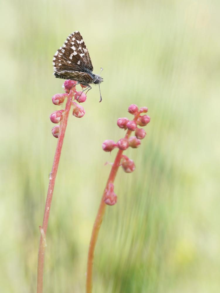Kleiner Würfel-Dickkopffalter auf Pyrola minor, dem Kleinen Wintergrün, Dänemark