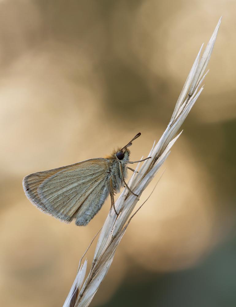 Schwarzkolbiger Braundickkopffalter (Thymelicus lineola)