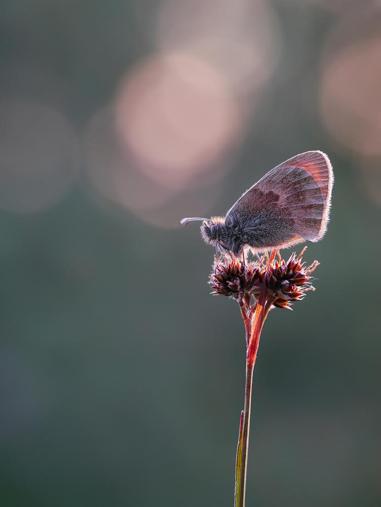 Kleiner Heufalter (Kleines Wiesenvögelchen) (Pamphilus Coenonympha)
