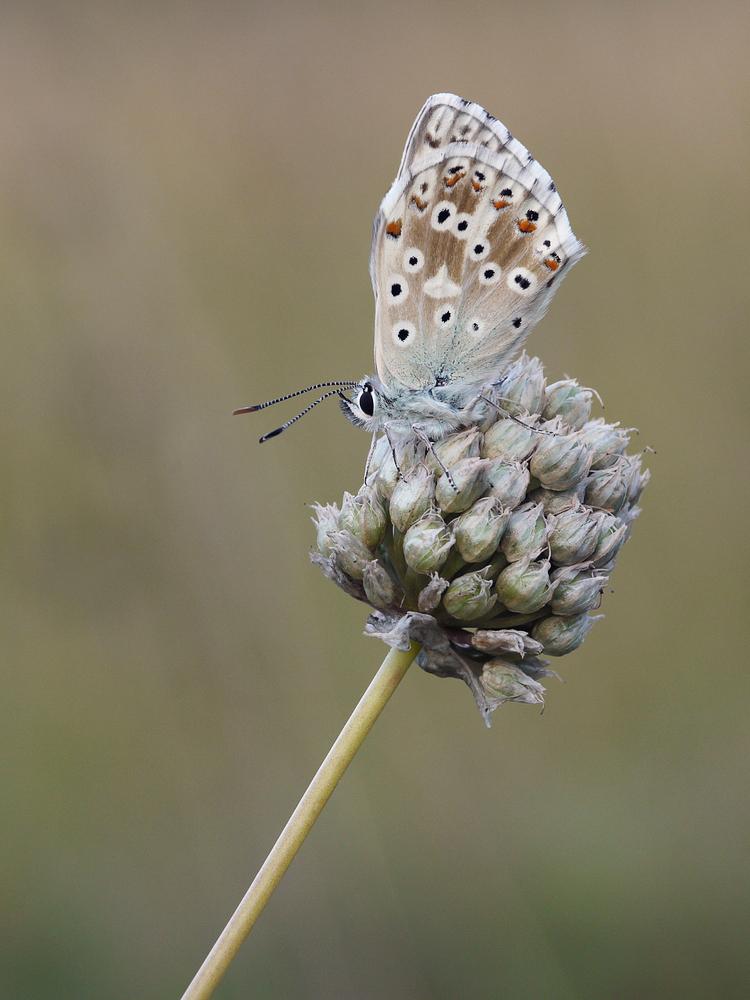ilbergrüner Bläuling (männlich) (Polyommatus coridon)